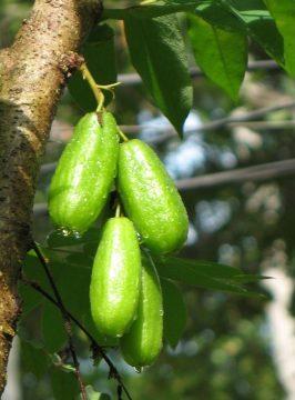 Benefits of Vegetable Star fruit